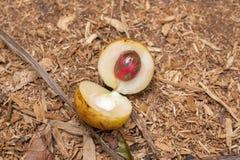 Noz-moscada fresca, fragrans do Myristica imagens de stock