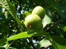 Nozes de amadurecimento verdes em uma árvore frondosa Fotografia de Stock Royalty Free