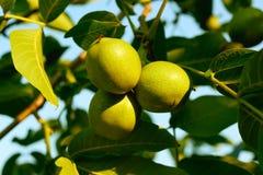 Nozes em uma árvore no por do sol Fotos de Stock Royalty Free
