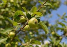 Nozes frescas na árvore Imagens de Stock Royalty Free