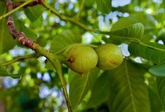 Nozes frescas na árvore Fotografia de Stock Royalty Free