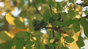 Nozes maduras na árvore filme