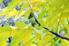 Nozes na árvore Foto de Stock