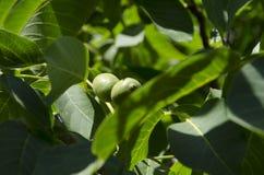 Nozes que crescem em uma árvore Foto de Stock