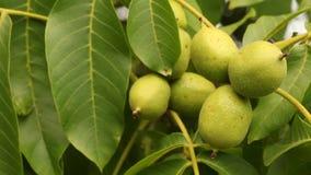 Nozes verdes verdes organicamente crescidas na árvore de noz filme