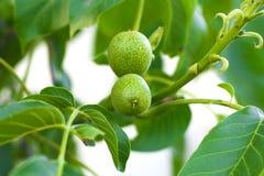 Nozes verdes que crescem em uma árvore Fotografia de Stock