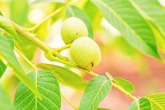 Nozes verdes que crescem em uma árvore Fotografia de Stock Royalty Free