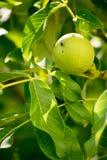 Nozes verdes que crescem em uma árvore Imagens de Stock