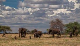 NP Tarangire, Tanzânia - elefantes e javalis africanos mim imagem de stock