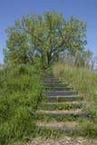 NPV自然在台阶顶部的中心树 免版税库存照片