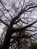 Nr деревьев силуэта Crookham Northumerland, Англия Великобритания Стоковые Изображения RF