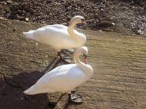 Nr de cygnes le tweed de rivière, Berwick sur le tweed, le Northumberland R-U Image stock