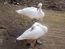 Nr de cygnes le tweed de rivière, Berwick sur le tweed, le Northumberland R-U Images stock