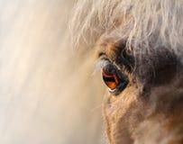 Nära miniatyrhäst - sköt upp Arkivbild
