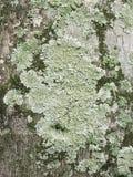 Närbild av alger, mossa och laven som växer på trädstammen Arkivfoton