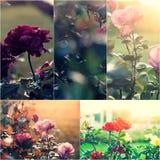 Närbild av att dö trädgårds- rosor på busken Collage av colorized bilder Tonad fotouppsättning Fotografering för Bildbyråer