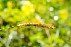 Närbild av blomman för grön foxtail Arkivfoto