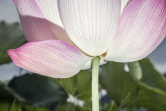 Närbild av den rosa lotusblommablomman, Kina Arkivfoton