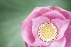 Närbild av den rosa lotusblommablomman, Kina Arkivbild
