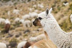 Närbild av en alpaca Arkivbild