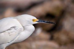 Närbild av en snöig Egret (Egrettathulaen) Royaltyfri Bild