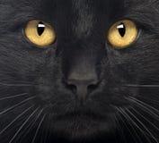 Närbild av en svart katt Royaltyfri Foto