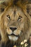 Närbild av ett lejon, Serengeti, Tanzania Arkivbilder