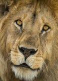 Närbild av ett lejon, Serengeti, Tanzania Arkivfoto