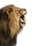Närbild av ett lejon som vrålar, PantheraLejonet, 10 gamla som år isoleras Fotografering för Bildbyråer