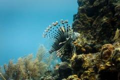 Närbild av giftig lionfishsimning på korallreven i Hol Chan Royaltyfria Foton