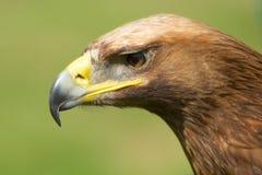 Närbild av solbelyst stirra för huvud för guld- örn Royaltyfri Fotografi