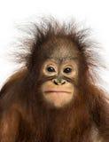 Närbild av ungt vända mot för Bornean orangutang Arkivfoto