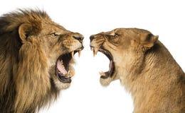 Närbild av vråla för lejon och för lejoninna Fotografering för Bildbyråer