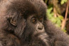 Närbilden av behandla som ett barn gorillan som stirrar i skog Arkivbilder