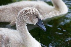 Närbilden av den härliga unga svanen som äter algerna Royaltyfri Bild