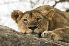 Närbilden av en lejoninna som vilar på, vaggar, Serengeti, Tanzania Royaltyfri Foto