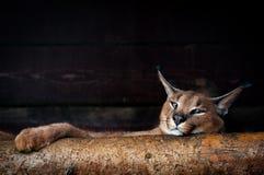Närbildstående av en lodjur i skog Fotografering för Bildbyråer