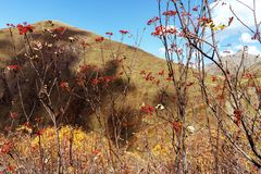 Ripe berries of viburnum on the branches on a mountain landscape stock photo