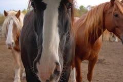 närmar sig hästtrio Royaltyfri Foto