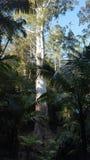 Nsw高大的树木 库存图片