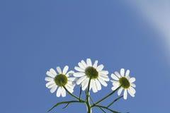 ANthemis tinctoria Wargrave , againt sun. Stock Photography