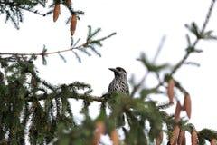 Nötknäppare på träd Royaltyfri Fotografi