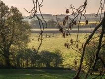 Nötkreatur i en Misty Field på soluppgång Fotografering för Bildbyråer