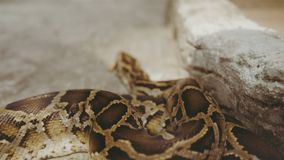 Ntropical python στο ζωολογικό κήπο Επικίνδυνα ερπετά στο πλανήτη Γη στοκ φωτογραφία με δικαίωμα ελεύθερης χρήσης