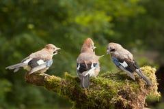 Nötskrikafågelfamilj av tre som matar Royaltyfri Foto