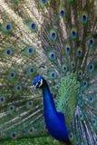 nätt påfågel Arkivfoton