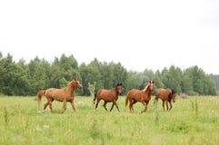 τα αραβικά άλογα κοπαδιώ&nu Στοκ Φωτογραφίες