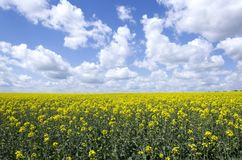 Nuages blancs dans le ciel bleu, fleurs de floraison de canola Beau paysage de champ photo libre de droits