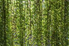 Nuance accrochante d'offre d'usines de rideau en jungle photo libre de droits