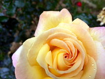 Nuanced beautiful yellow rose. On dark background Royalty Free Stock Photo
